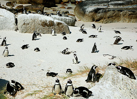 AfricanPenguins